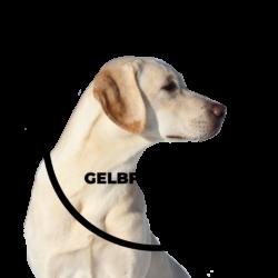 Gelbfüßler Labradors
